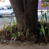 Mais uma árvore da Praça é adotada
