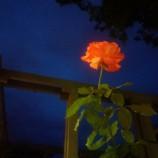 As rosas fazem um ano