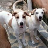 Cadelas mestiças de labrador para adoção